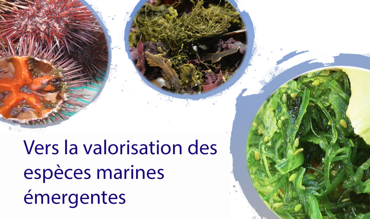 Towards the valorization of emerging marine species